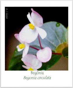 begônia Begonia circulata Begoniaceae Msgç (4)