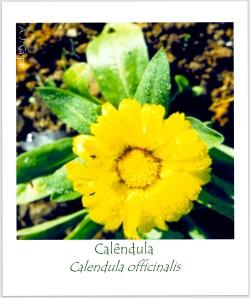 calêndula Calendula officinalis Compositae Asteraceae Pouso Frio (1)