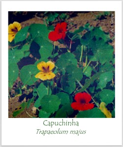 capuchinha  Trapaeolum majus Tropaeolaceae Pouso Frio SFX (8)