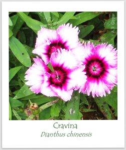 cravina Dianthus chinensis Caryophylaceae Ubatuba (1)