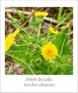 dente de leão Sonchus oleraceus Compositae Asteraceae  MSGÇ (3)