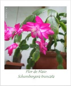 flor de maio Schumbergera truncata Cactaceae  P Açu  (4)