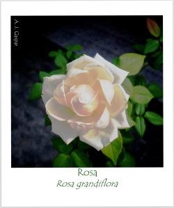roseira Rosa grandiflora Rosaceae MSGÇ (5)