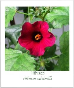rosela Hibiscus sabdariffa Malvaceae P Açu Ubatuba (1)